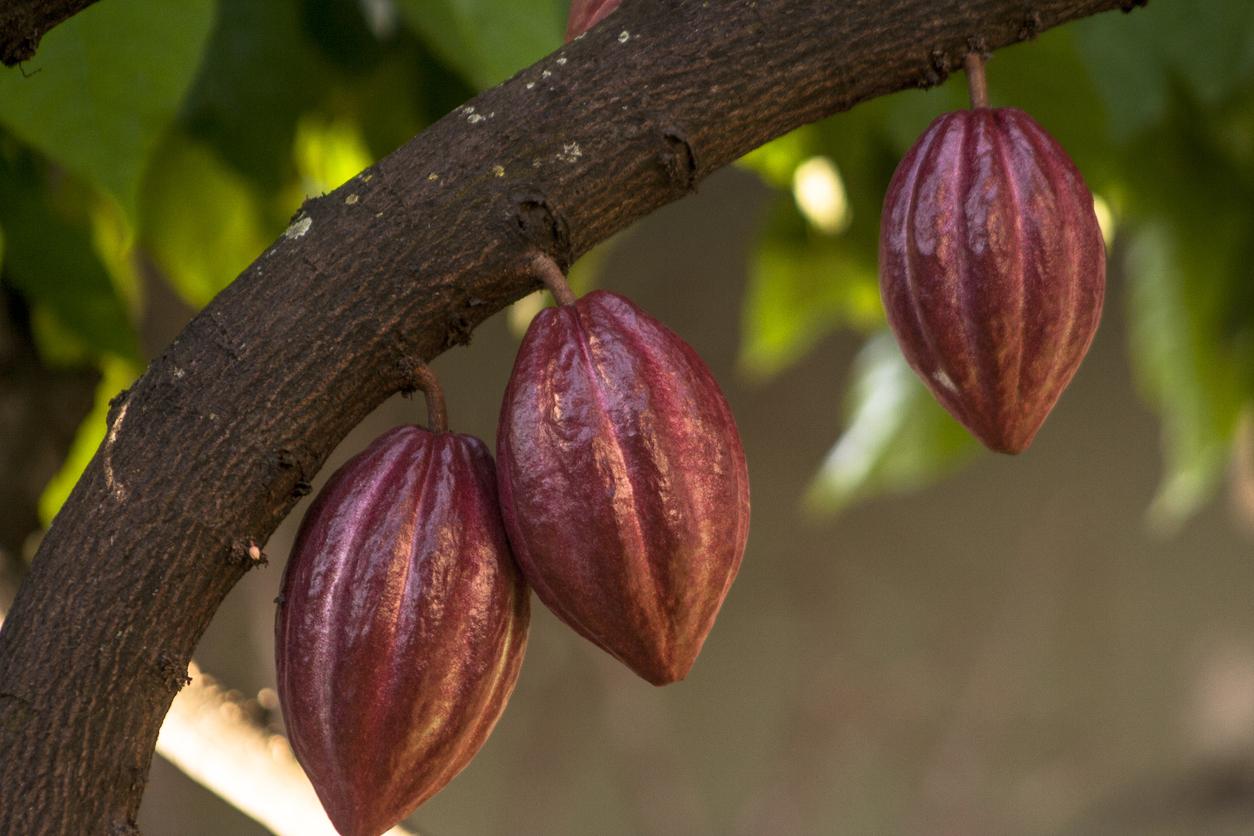 Fruto do Cacau - Fruta do cacaueiro