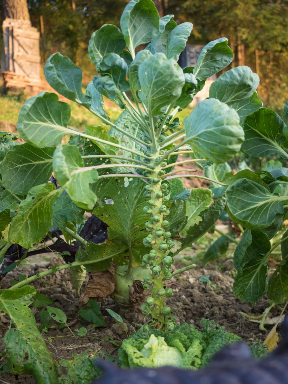 Brussels sprout in the garden