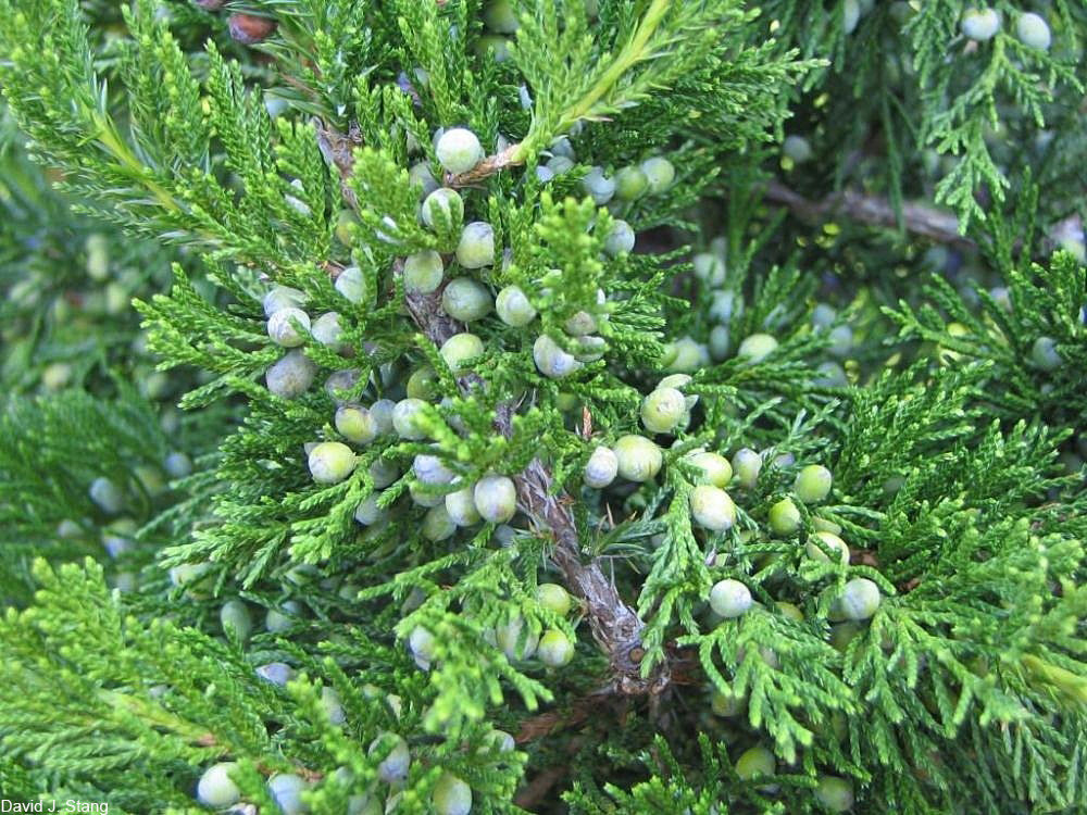 Eastern White Cedar leaves