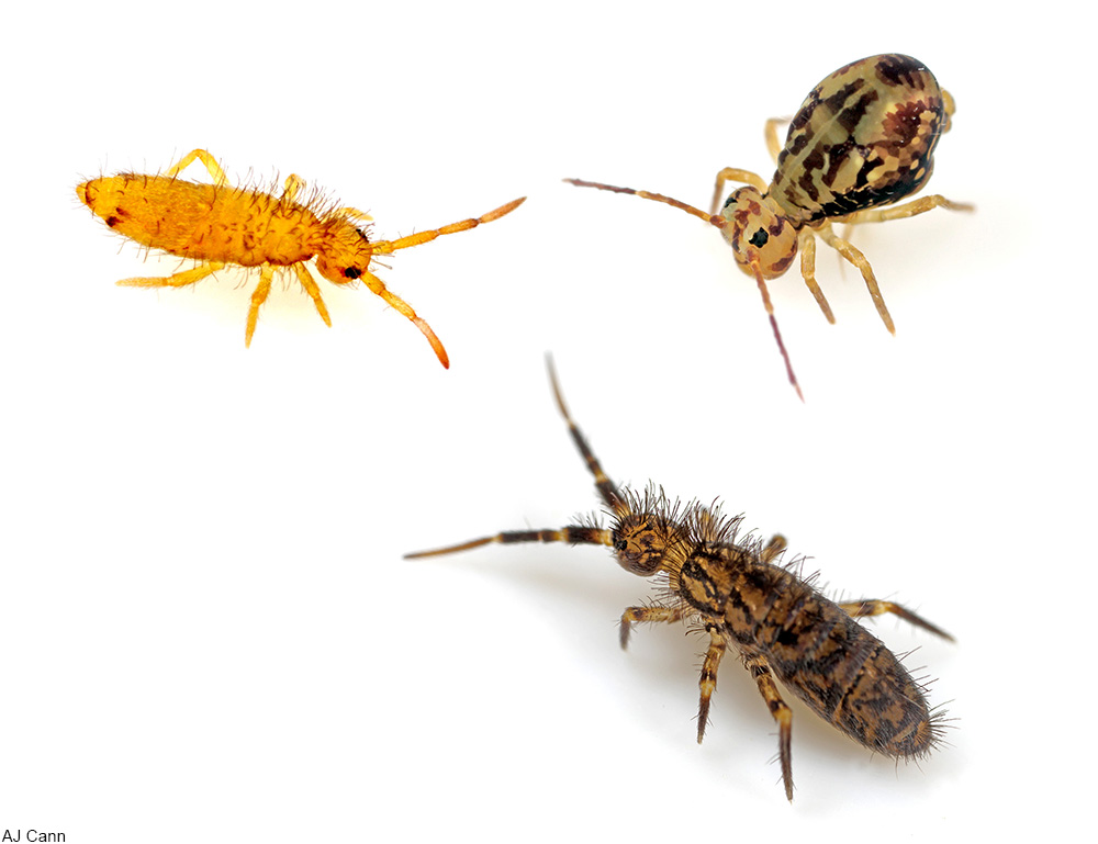 three types of springtails
