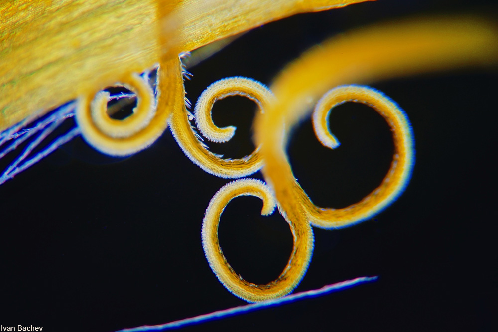 microscopic view of a dandelion stigma