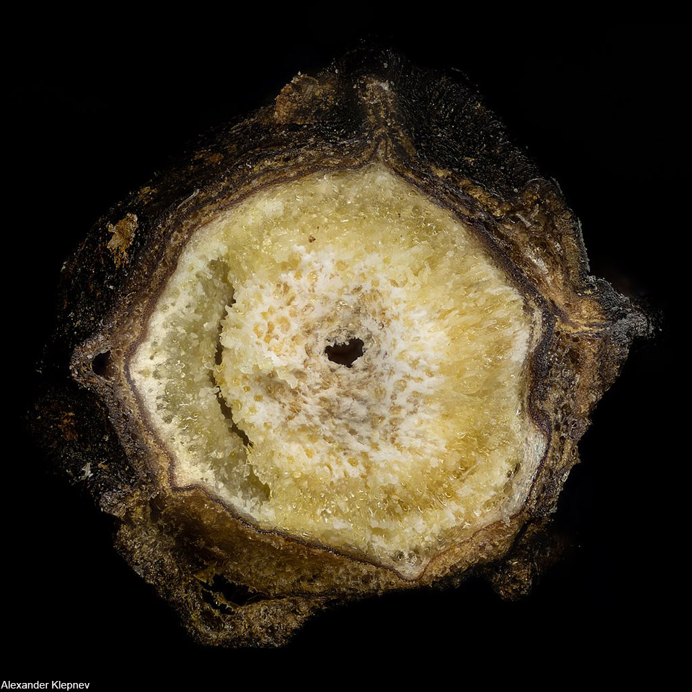 microscopic view of the inside of a peppercorn fruit