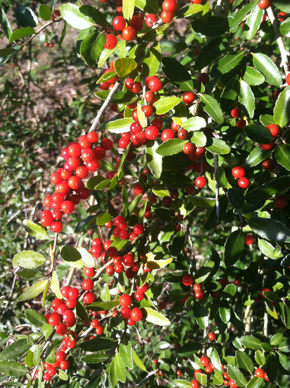 Yaupon holly, a holly species native to the Eastern U.S.