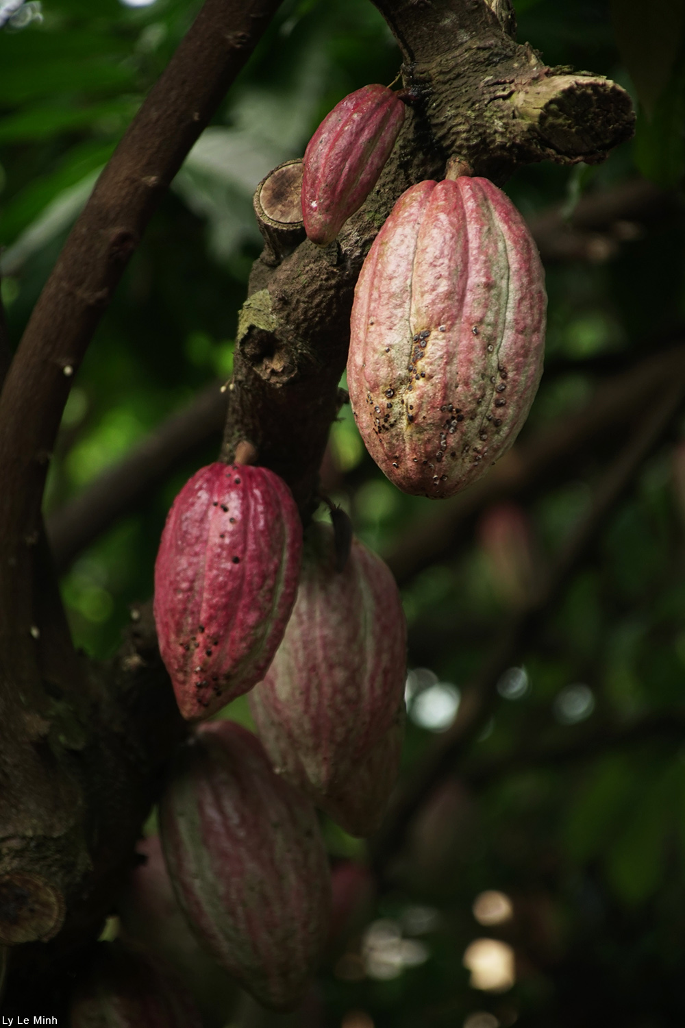 cacao pods hanging from a branch