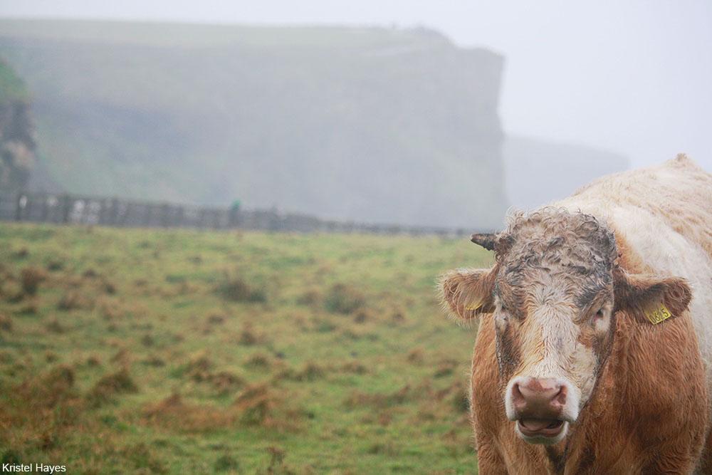 Irish cow near the Cliffs of Moher