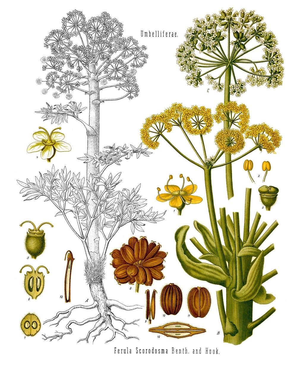 scientific drawing of a ferula species of plants