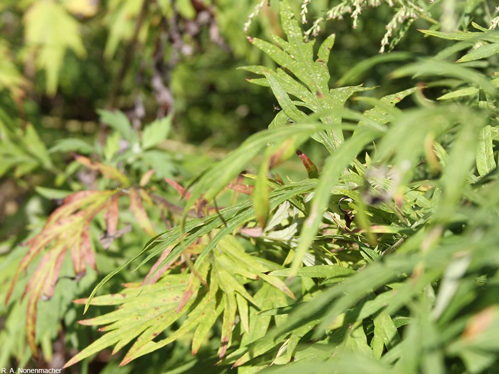 common mugwort leaves