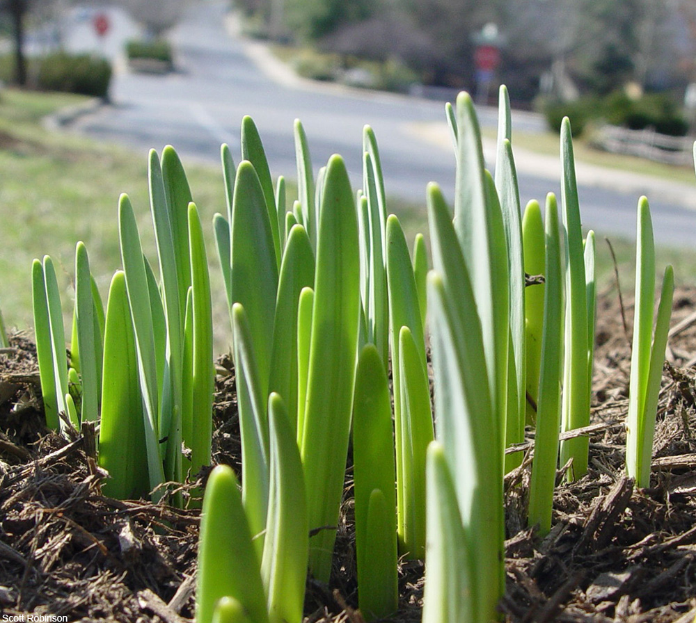 bulbs coming up in the spring