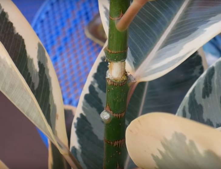 cut trunk for air layering rubber plant