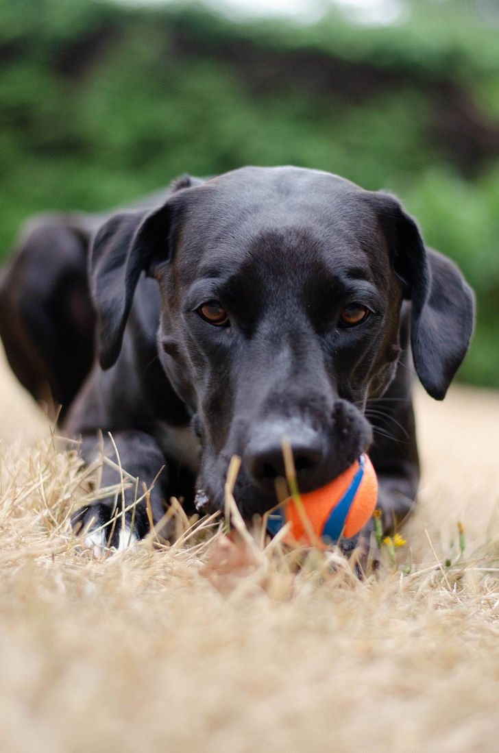 black lab with a chew toy