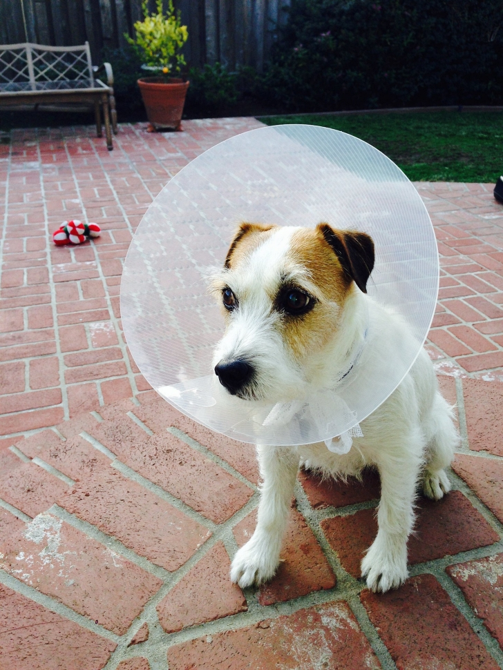 little dog in cone of shame