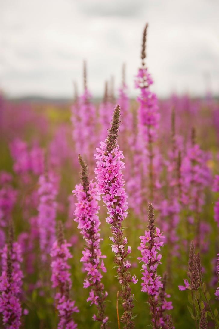 purple loosestrife plants in a field