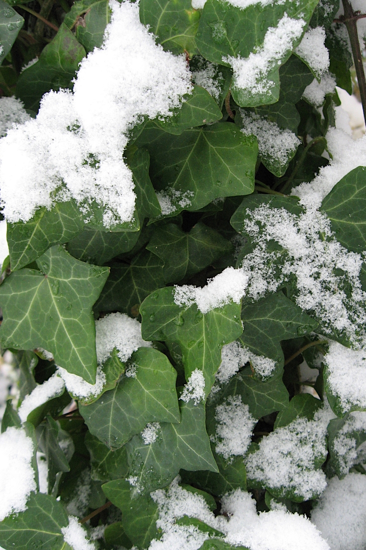English ivy in the snow