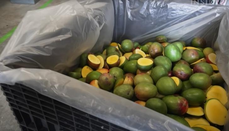 bin of off cast mangoes
