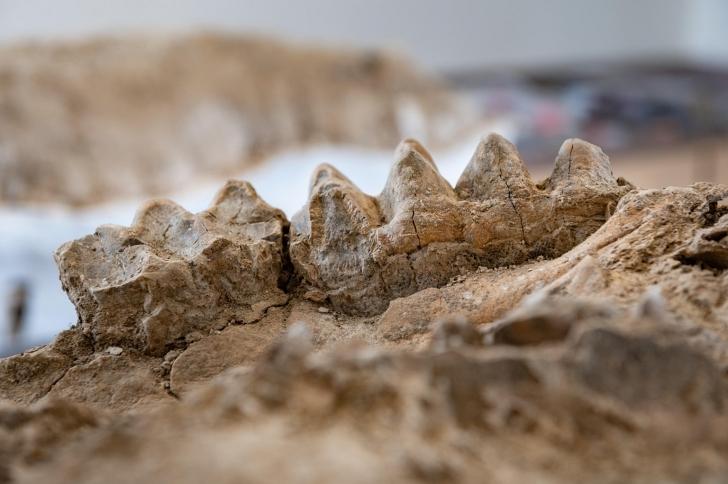 mastodon tooth fossils found in the Sierra Nevada foothills