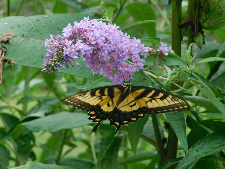 butterfly bush with butterfly on it