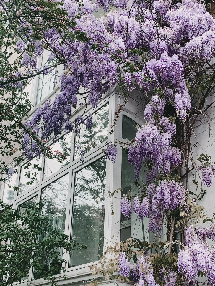 Chinese wisteria growing on a building