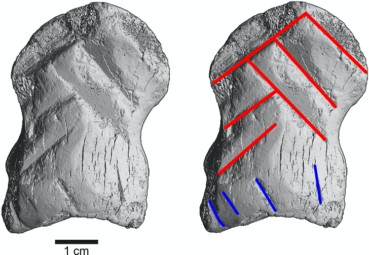 microCT scan of carved bone found in Neanderthal cave in Germany