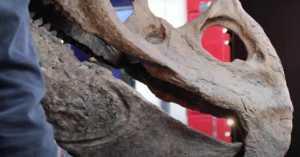 Big John Triceratops skull