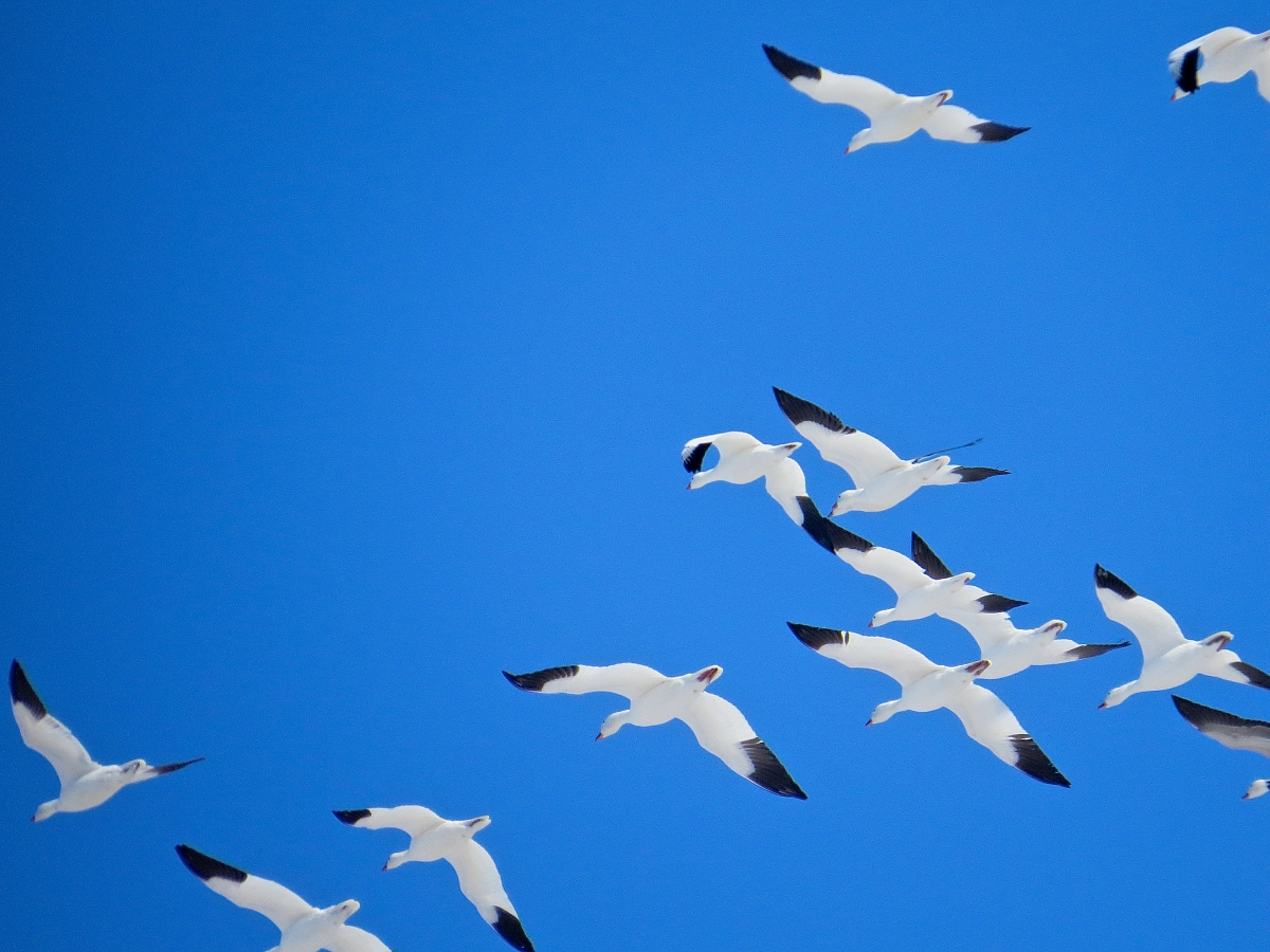 migrating snow geese against a blue sky