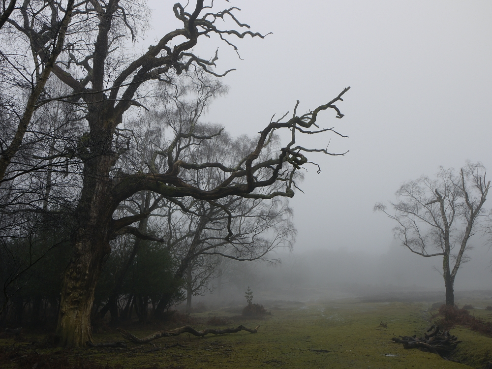 New Forest twisted tree in mist
