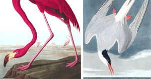 birds depicted by John Audubon